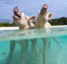 pig swim