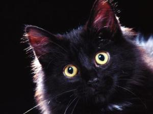 domestic-long-hair-black-cat-512x384-117